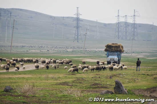 Truck and Sheeps