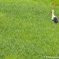 Stork on green