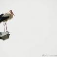 Stork on white