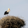 Young stork near Tokaj