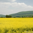Rape fields in eastern Hungary