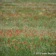 Wild poppies field