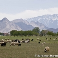 Flock of sheep on the way to Dor