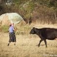 Woman dragging a cow