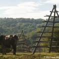 Romanian cow !