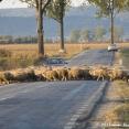Sheep crossing =)