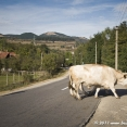 Romanian bulls are the biggest I ever seen...