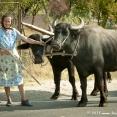 Woman dragging cows in Romania