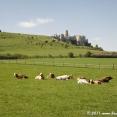 Spišský hrad and cows