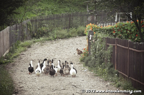 There are many geese in the villages