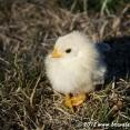 Baby chicken :-)